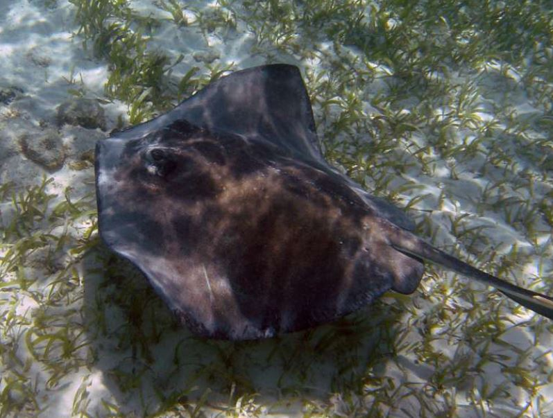 Stingrays in Belize